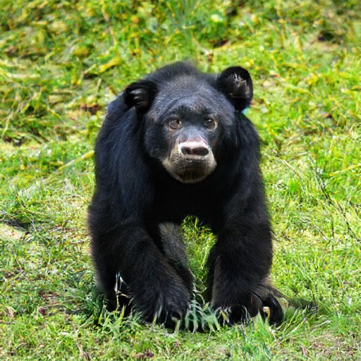 Chimp bear